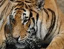 Lindo Tigre wallpaper