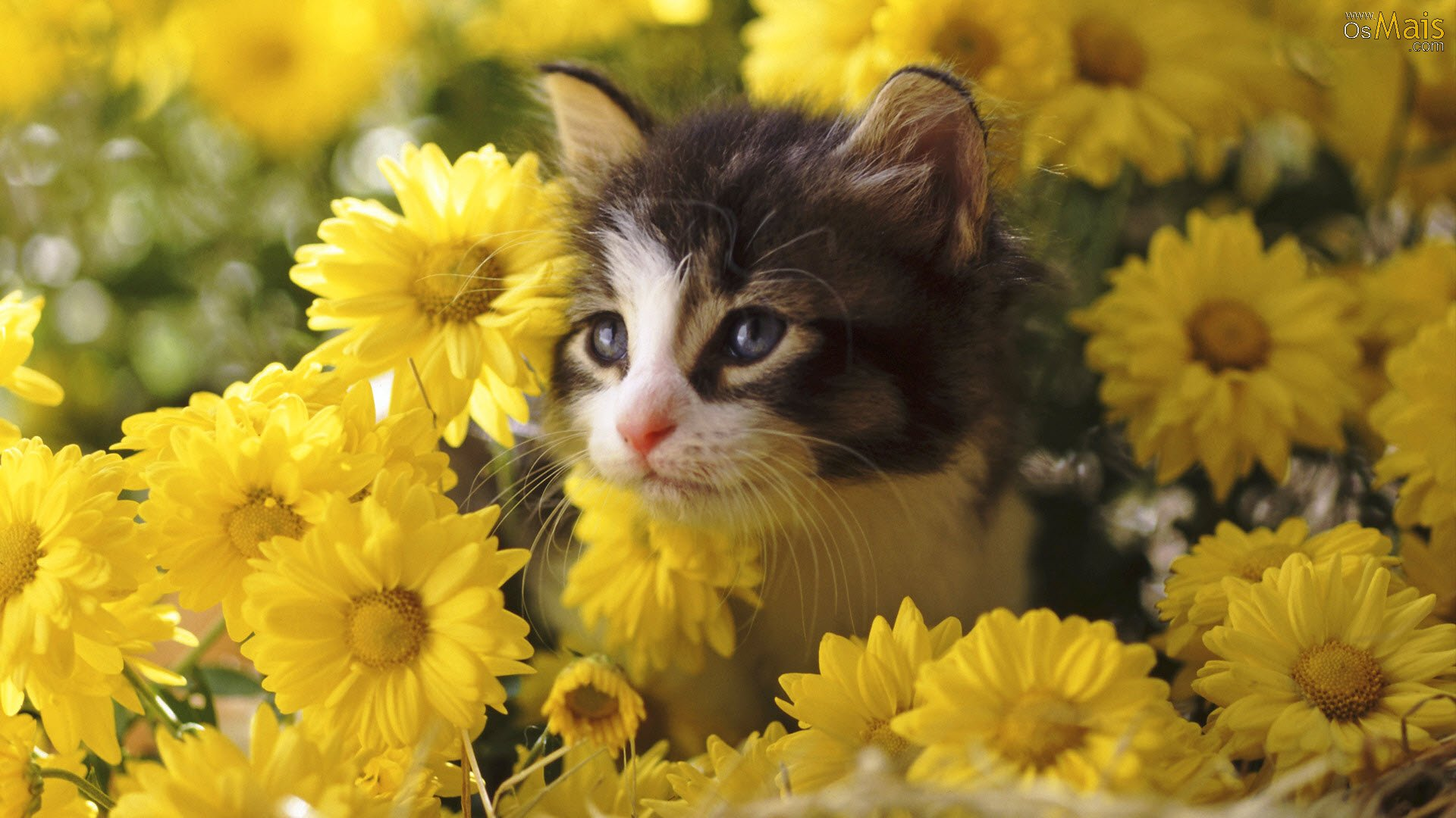 http://www.osmais.com/wallpapers/201112/gato-flores-wallpaper.jpg