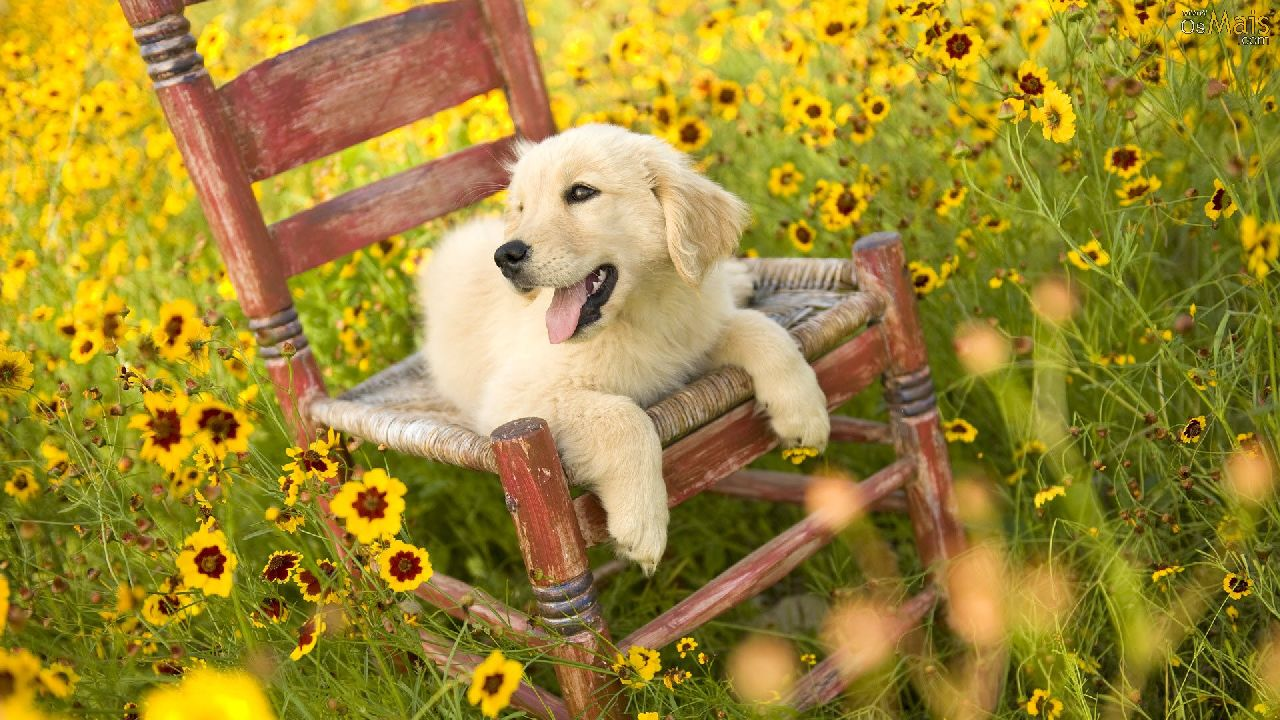 http://www.osmais.com/wallpapers/201201/lindo-cachorro-e-flores-wallpaper-1280x720.jpg