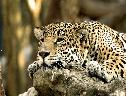 Leopardo Descansando wallpaper
