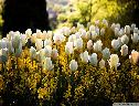 Tulipas Brancas wallpaper