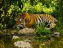 Tigre Descansando wallpaper