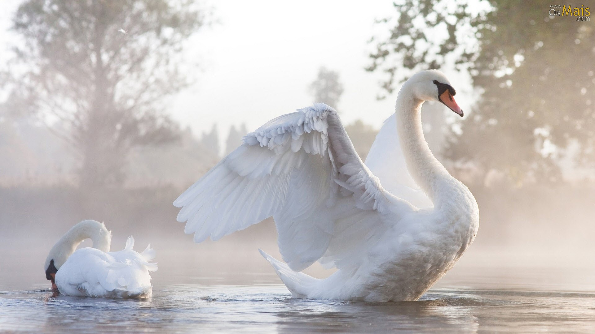 http://www.osmais.com/wallpapers/201602/cisne-branco-natureza-animais-wallpaper.jpg